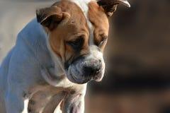 Портрет жалостливой бездомной собаки crossbreed Стоковое Фото