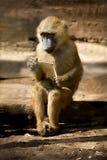 Портрет желтого младенца павиана стоковые фотографии rf