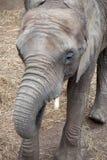 Портрет женский подавать африканского слона Стоковая Фотография