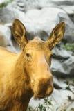 Портрет женских лосей Стоковое Изображение RF