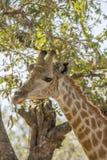 Портрет женского жирафа в парке Kruger, Южной Африке Стоковое Фото