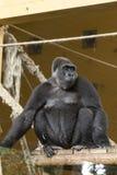 Портрет женской гориллы взобрался на деревянной платформе Стоковое фото RF