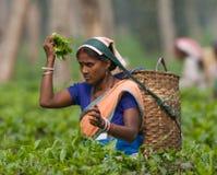Портрет женщины - сборники чая от близрасположенной деревни Стоковые Фото
