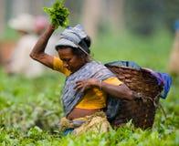 Портрет женщины - сборники чая от близрасположенной деревни Стоковые Изображения RF