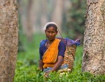 Портрет женщины - сборники чая от близрасположенной деревни Стоковое Изображение