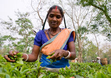 Портрет женщины - сборники чая от близрасположенной деревни Стоковое Фото