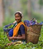Портрет женщины - сборники чая от близрасположенной деревни Стоковая Фотография RF