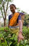 Портрет женщины - сборники чая от близрасположенной деревни Стоковое Изображение RF