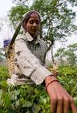 Портрет женщины - сборники чая от близрасположенной деревни Стоковое фото RF