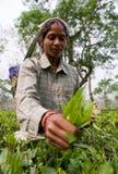 Портрет женщины - сборники чая от близрасположенной деревни Стоковые Фотографии RF