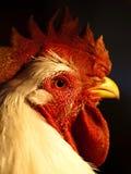 Портрет живого цыпленка Стоковое фото RF