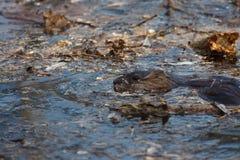 Портрет живой природы бобра в воде Стоковые Фотографии RF