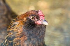 Портрет животноводческой фермы курицы цыпленка Стоковые Изображения