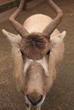 Портрет животного аддакса в зоологическом парке Стоковое Изображение