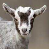 Портрет животного козы Стоковое Фото