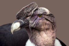 Портрет животного кондора Стоковая Фотография RF