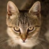 Портрет животного кота Tabby Стоковые Фотографии RF