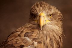 Портрет животного орла Брайна Стоковое фото RF