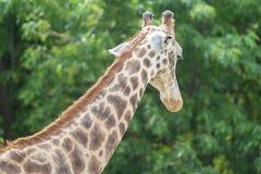 Портрет жирафа в зоопарке Стоковая Фотография