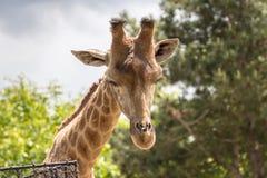 Портрет жирафа в зоопарке Стоковое Изображение RF