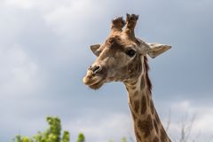 Портрет жирафа в зоопарке Стоковые Фотографии RF