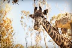 Портрет жирафа в зоопарке Стоковые Фото