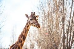 Портрет жирафа в зоопарке Стоковые Изображения RF