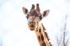 Портрет жирафа в зоопарке Стоковое Фото