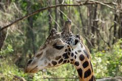 Портрет жирафа в охране живой природы Африки или в зоопарке Стоковое Изображение