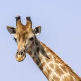 Портрет жирафа в парке Kruger, Южной Африке Стоковая Фотография RF
