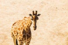 Портрет жирафа в природе Стоковые Изображения