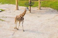 Портрет жирафа в природе Стоковые Фотографии RF