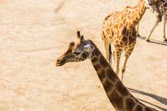 Портрет жирафа в природе Стоковая Фотография RF