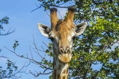 Портрет жирафа в саванне в национальном парке Kruger, Южной Африке Стоковое Изображение RF
