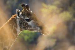 Портрет жирафа в Южной Африке Стоковые Фотографии RF