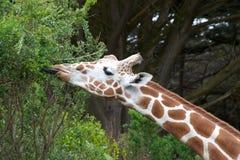 Портрет жирафа есть дерево выходит язык вставляя вне Стоковое Изображение RF