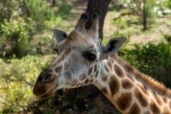 Портрет жирафа животный в Африке Стоковая Фотография