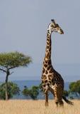 Портрет жирафа Кения Танзания 5 2009 в марше maasai танцульки Африки ратников села Танзании восточном выполняя Стоковые Изображения