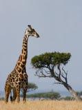 Портрет жирафа Кения Танзания 5 2009 в марше maasai танцульки Африки ратников села Танзании восточном выполняя Стоковая Фотография RF