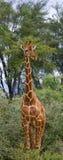Портрет жирафа Кения Танзания 5 2009 в марше maasai танцульки Африки ратников села Танзании восточном выполняя Стоковые Фотографии RF