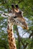 Портрет жирафа Кения Танзания 5 2009 в марше maasai танцульки Африки ратников села Танзании восточном выполняя Стоковое Изображение RF