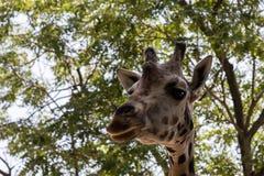 Портрет жирафа над зелеными листьями Стоковое Изображение RF