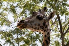 Портрет жирафа над зелеными листьями Стоковые Фото