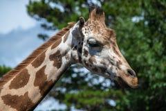 Портрет жирафа на зоопарке Стоковое Изображение