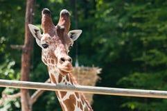 Портрет жирафа на предпосылке зеленых деревьев Стоковое Изображение