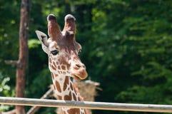 Портрет жирафа на предпосылке зеленых деревьев Стоковое Фото