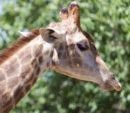 Портрет жирафа на природе Стоковая Фотография