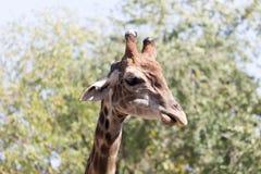Портрет жирафа на природе Стоковые Фото