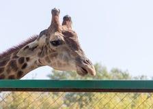 Портрет жирафа на природе Стоковая Фотография RF