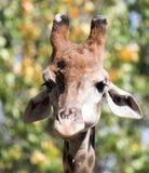 Портрет жирафа на природе Стоковые Изображения RF